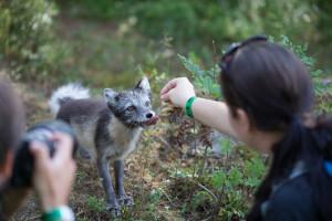 I Namsskogan Familiepark kan du bli med på å mate fjellreven. Foto: Namsskogan Familiepark