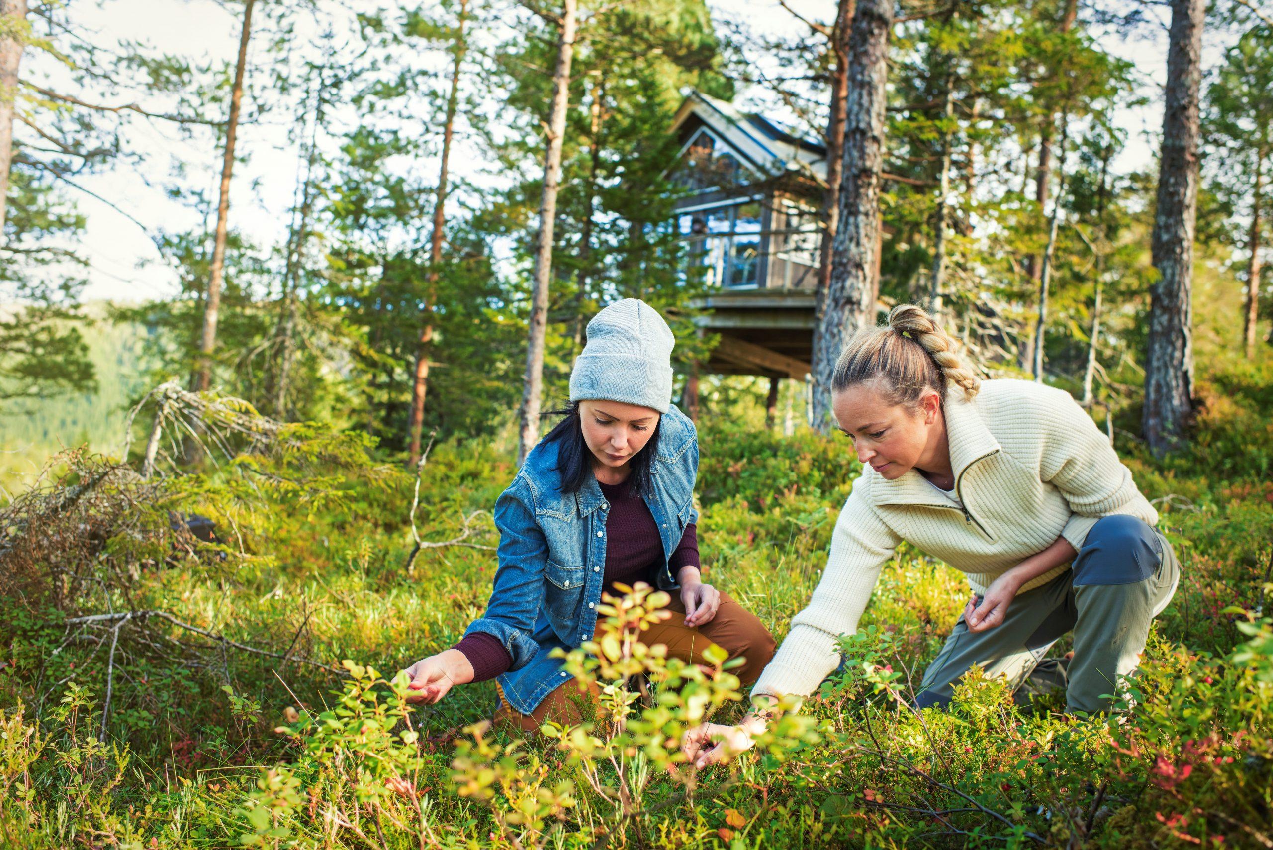 Bærplukking i Namsos, med Himmelhøy tretopphytte i Namdalen i bakgrunnen. Foto: Buckethaus